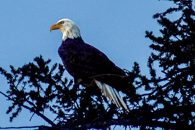 Photograph - Bald Eagle In Pine Tree by Marilyn Burton