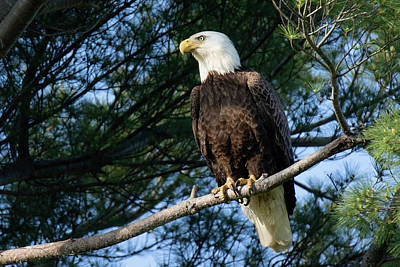 Photograph - Bald Eagle In Providence by Peter Green
