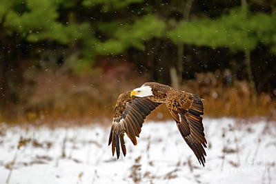 Bald Eagle In Snowstorm Art Print by CJ Park