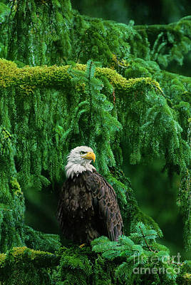 Photograph - Bald Eagle In Southeast Alaska by Dave Welling