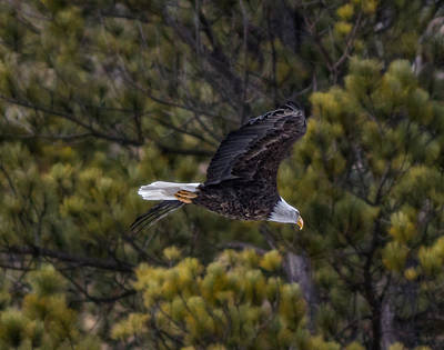 Photograph - Bald Eagle In Spearfish Canyon by Ray Van Gundy