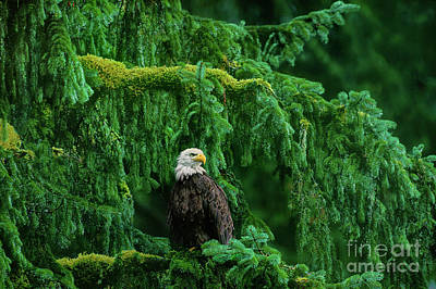 Art Print featuring the photograph Bald Eagle In Temperate Rainforest Alaska Endangered Species by Dave Welling