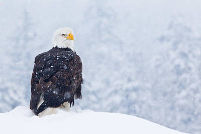 Bald Eagle In The Snow Art Print by Brandon Broderick