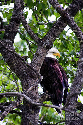 Photograph - Bald Eagle In Tree by David Arment