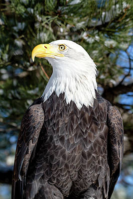 Photograph - Bald Eagle In Tree by Teri Virbickis