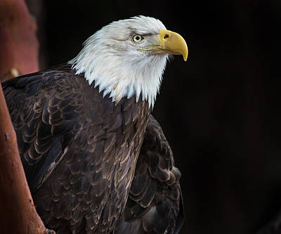 Photograph - Bald Eagle Intensity by Greg Nyquist