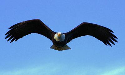 Exceptional Good Looking Art Photograph - Bald Eagle Intimidation by Dean Edwards