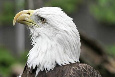Photograph - Bald Eagle by Jackson Pearson