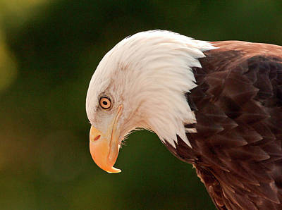 Photograph - Bald Eagle by James Steele