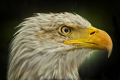 Photograph - Bald Eagle by Jeff S PhotoArt