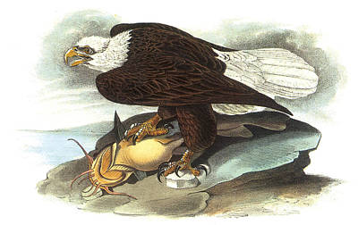 American Eagle Painting - Bald Eagle by John James Audubon
