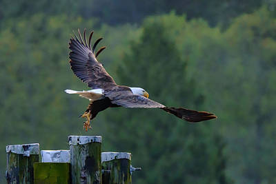 Photograph - Bald Eagle Jumps Off The Dock by Keith Boone