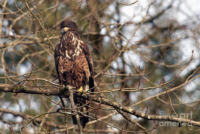 Photograph - Bald Eagle Juvenile 2 by Sharon Talson