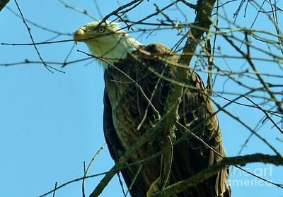 Photograph - Bald Eagle Keeping Guard by Rosanne Licciardi