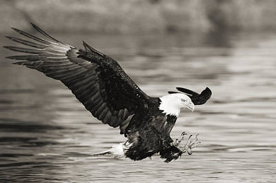 Bald Eagle Landing Art Print by John Hyde - Printscapes