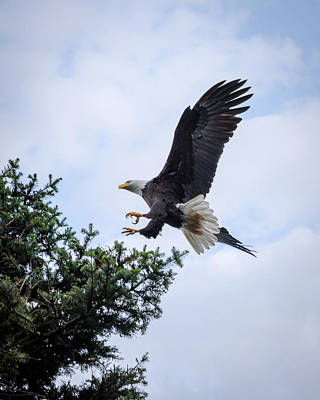 Photograph - Bald Eagle Landing by Keith Boone