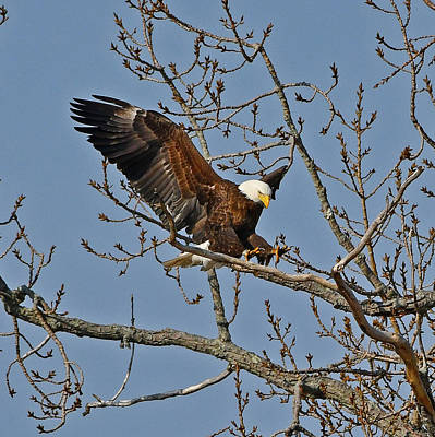 Photograph - Bald Eagle Landing by Ken Stampfer