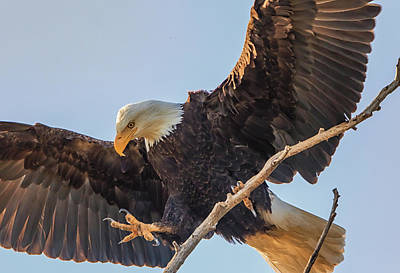 Photograph - Bald Eagle Landing by Marc Crumpler