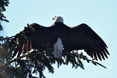 Photograph - Bald Eagle by Laurianna Taylor