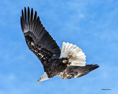 Photograph - Bald Eagle Leaving Tree by Stephen Johnson