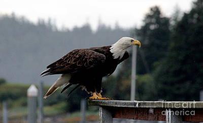Photograph - Bald Eagle by Lennie Malvone