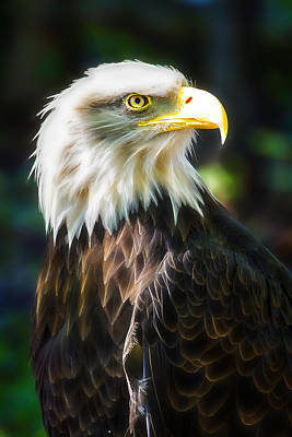 Photograph - Bald Eagle by Linda Tiepelman