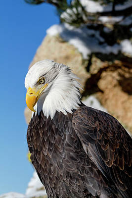 Photograph - Bald Eagle Looking Down by Teri Virbickis