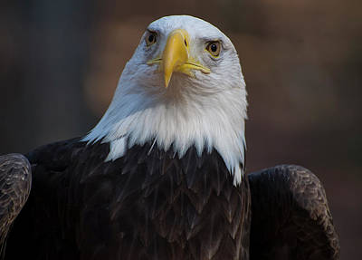 Bald Eagle Looking Right Art Print