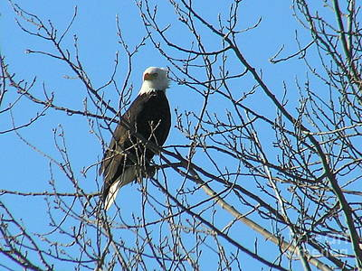 Photograph - Bald Eagle by Louise Magno