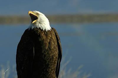 Photograph - Bald Eagle, Lower Klamath Nwr, California by Robert Mutch