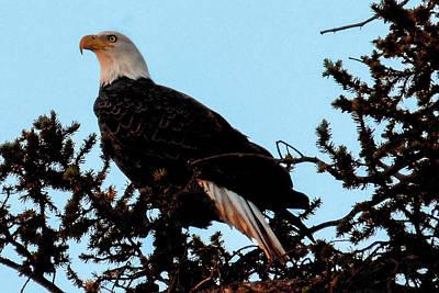 Photograph - Bald Eagle by Marilyn Burton