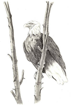 Drawing - Bald Eagle by Marsha Karle