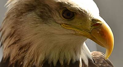 Photograph - Bald Eagle  by Nadalyn Larsen
