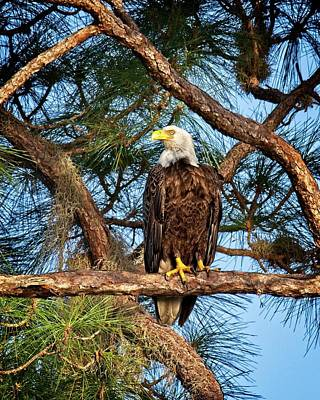 Photograph - Bald Eagle Near Nest by Ronald Lutz