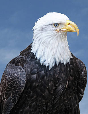 Photograph - Bald Eagle by Norman Peay