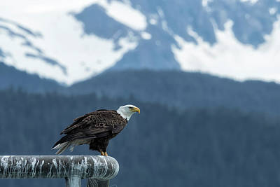 Photograph - Bald Eagle Of Resurrection Bay, No. 1 by Belinda Greb