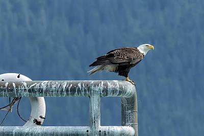 Photograph - Bald Eagle Of Resurrection Bay, No. 3 by Belinda Greb