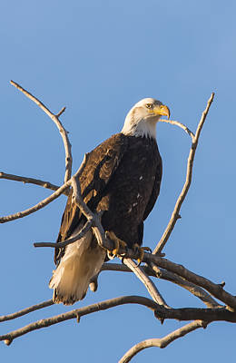Photograph - Bald Eagle On A Bare Branch by Loree Johnson