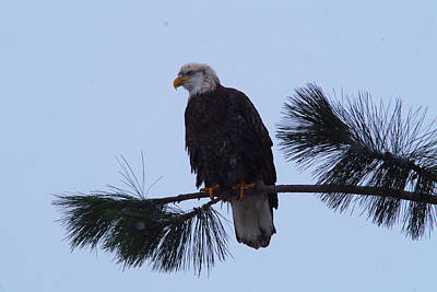Gelid Photograph - Bald Eagle On A Pine Branch by Jeff Swan