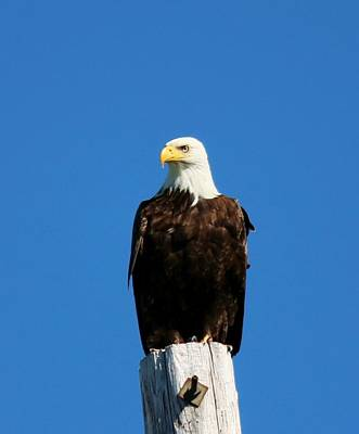 Photograph - Bald Eagle On A Power Pole - 2 by Christy Pooschke