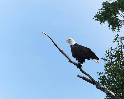 Photograph - Bald Eagle On Bald Branch by Jemmy Archer
