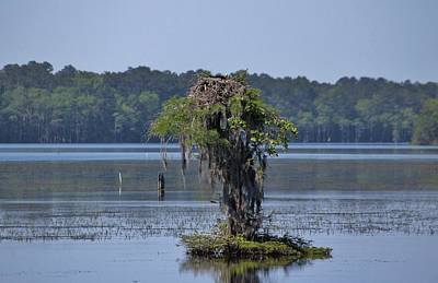 Photograph - Bald Eagle On Cypress by Cynthia Guinn