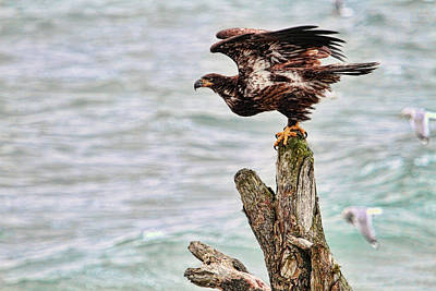 Bald Eagle On Driftwood At The Beach Art Print