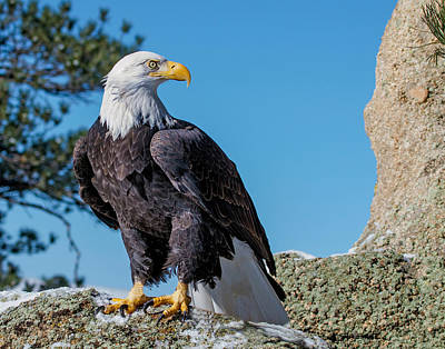 Photograph - Bald Eagle On Moss Rock by Dawn Key