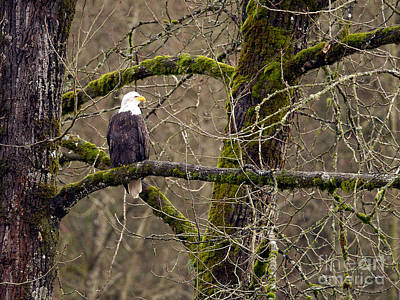 Photograph - Bald Eagle On Mossy Branch by Sharon Talson