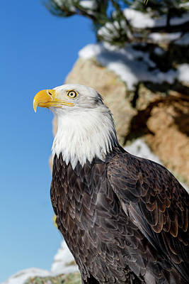 Photograph - Bald Eagle On Sunny Winter Day by Teri Virbickis