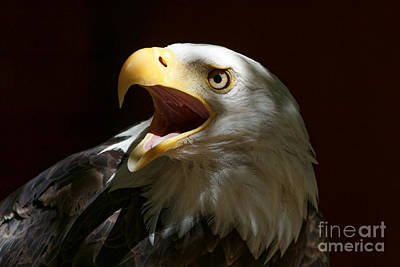 Photograph - Bald Eagle - Out Of The Shadows by Sue Harper