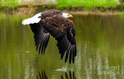 Photograph - Bald Eagle Over A Pond by Les Palenik