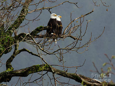 Photograph - Bald Eagle Pair by Bob Christopher