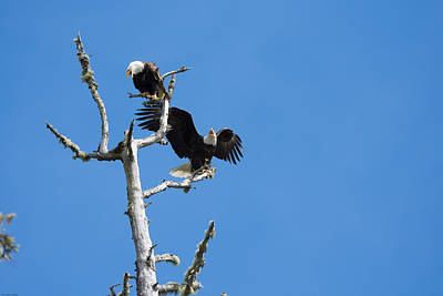 Photograph - Bald Eagle Pair by John Pavolich